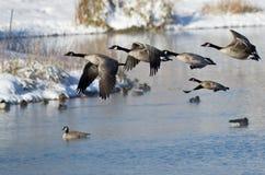 Gansos de Canadá que llevan el vuelo de un lago winter Imagen de archivo libre de regalías