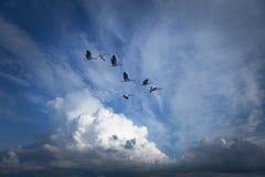 Gansos de Canadá que migram Imagem de Stock