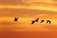 Gansos de Canadá que migram para o sul no outono Imagens de Stock Royalty Free