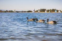 Gansos de Canadá que nadam no parque da linha costeira e no lago, Mountain View, Califórnia Fotografia de Stock Royalty Free