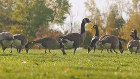 Gansos de Canadá que pastam no prado verde Em um dos parques no búfalo, Estados Unidos video estoque