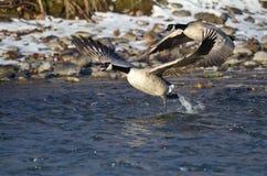 Gansos de Canadá que sacan de un río del invierno Imagen de archivo