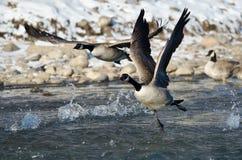 Gansos de Canadá que sacan de un río del invierno Fotografía de archivo libre de regalías