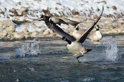 Gansos de Canadá que sacan de un río del invierno Fotografía de archivo