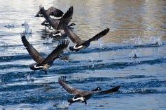 Gansos de Canadá que sacan del agua Imagenes de archivo
