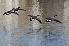Gansos de Canadá que voam sobre a água Fotos de Stock Royalty Free