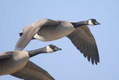 Gansos de Canadá que voam sobre pantanais fotos de stock royalty free