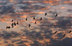 Gansos de Canadá que vuelan en la puesta del sol Foto de archivo libre de regalías