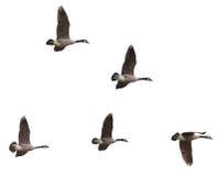 Gansos de Canadá que vuelan en un fondo blanco Imagenes de archivo