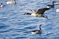 Gansos de Canadá que vuelan sobre el agua Imagen de archivo libre de regalías