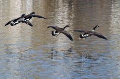 Gansos de Canadá que vuelan sobre el agua Fotos de archivo libres de regalías