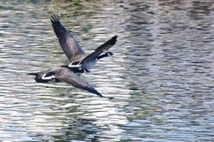 Gansos de Canadá que vuelan sobre el agua Imagenes de archivo