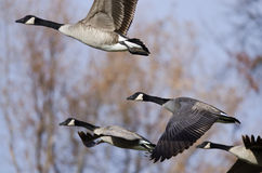 Gansos de Canadá que vuelan a través de Autumn Woods Fotografía de archivo