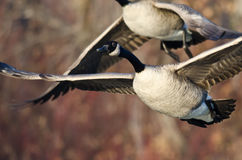 Gansos de Canadá que vuelan a través de pantano Fotografía de archivo