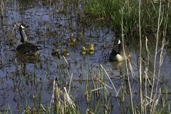 Gansos de Cananda com ganso que nadam em um pântano Foto de Stock Royalty Free