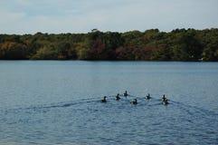 Gansos de Cape Cod Fotografia de Stock Royalty Free