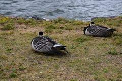 Gansos de craca adormecidos pela baía fotografia de stock royalty free