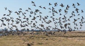 Gansos de craca que voam afastado em uma paisagem holandesa do po'lder foto de stock royalty free