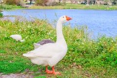 Gansos de Embden que se enfrían en el parque del lago Fotos de archivo