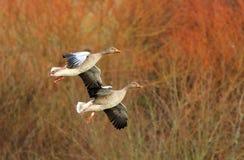 Gansos de ganso silvestre Imagen de archivo libre de regalías