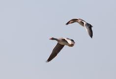 Gansos de ganso silvestre en vuelo Fotos de archivo