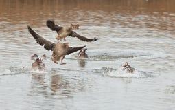 Gansos de ganso silvestre que aterrizan en el agua Imágenes de archivo libres de regalías