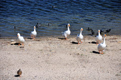 Gansos de la línea de la playa Fotografía de archivo libre de regalías