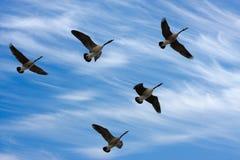 Gansos de la migración Imagen de archivo libre de regalías