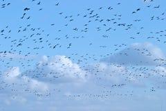 Gansos de la migración de pájaro a través de los cielos azules Foto de archivo libre de regalías