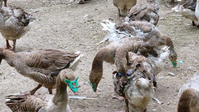 Gansos de la multitud en una granja rural metrajes
