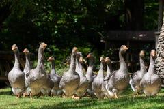 Gansos de los gras de Foie en la granja del ganso Imagenes de archivo
