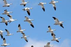 Gansos de neve da migração fotografia de stock