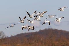 Gansos de neve da migração no vôo fotografia de stock