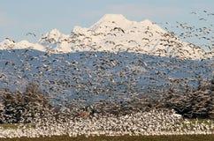 Gansos de neve e padeiro da montagem Fotografia de Stock Royalty Free