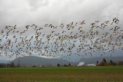 Gansos de neve em voo sobre a terra Imagens de Stock Royalty Free