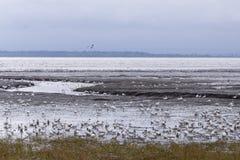Gansos de neve que alimentam na costa de St Lawrence fotos de stock royalty free