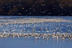 Gansos de nieve en el lago Imagen de archivo libre de regalías