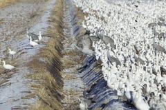Gansos de nieve y grúas de Sandhill en campo congelado en la reserva de Bosque del Apache National, cerca de San Antonio y de Soc Fotos de archivo