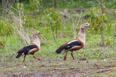 Gansos de Orinoco Foto de Stock Royalty Free