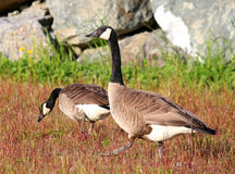 Gansos de passeio do ganso canadense na grama Fotografia de Stock Royalty Free