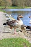 Gansos de pato bravo europeu fotografia de stock