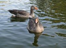 Gansos de pato bravo europeu imagens de stock