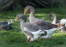 Gansos de pato bravo europeu domésticos: Os pássaros grandes em um passatempo cultivam em Ontário, Canadá Fotos de Stock