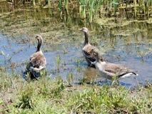 Gansos de pato bravo europeu no lago com juncos e grama verdes Fotografia de Stock