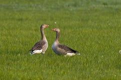 Gansos de pato bravo europeu no prado   imagem de stock royalty free