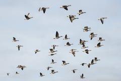 Gansos de pato bravo europeu no vôo fotografia de stock