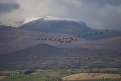 Gansos de pie rosado en las montañas escocesas Foto de archivo libre de regalías