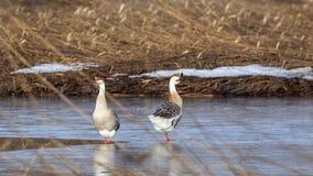 Gansos del cisne Foto de archivo