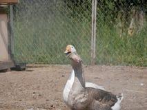 Gansos del gris y blancos una granja del país gansos domesticados en un día de verano soleado fotografía de archivo