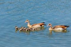 Gansos del Nilo de los pares que nadan con los jóvenes recién nacidos Foto de archivo